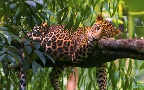 predator, leopard, animals, leaves, rest