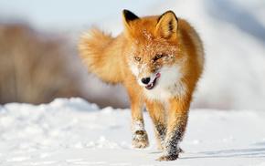 animals, winter, fox, snow