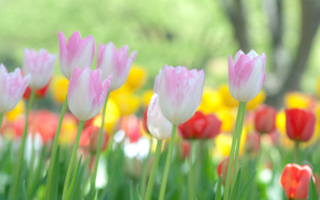 tulips, nature, flowers