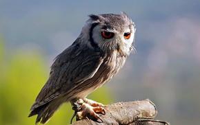 nature, bird, animals, owl