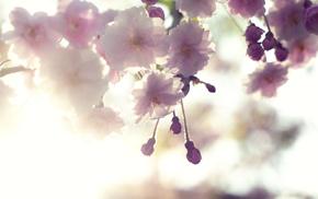 bloom, branch, flowers, sakura, cherry