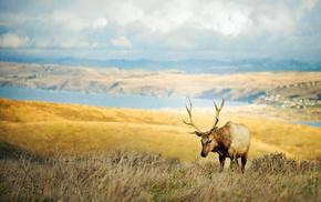horns, animals, deer, grass, valley