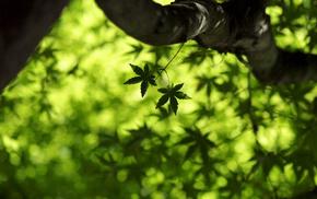 клён, зелень, maple leaf, листья, Макро, кленовый лист