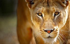 nature, lion, animals