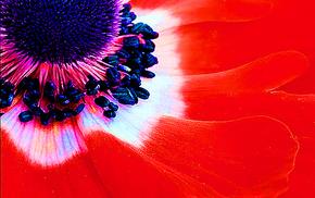 flowers, poppies, macro, red