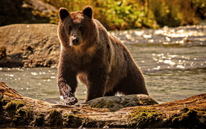 nature, animals, water, bear, river