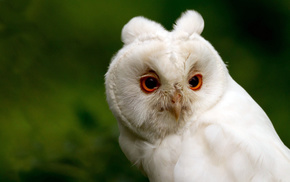 green, animals, background, owl