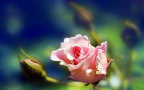 nature, rose, flowers, petals, macro