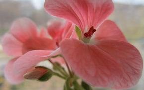 макро, бутон, цветок