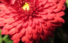 макро, цветок, бутон