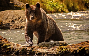 river, water, bear, animals, nature