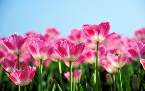 flowers, pink, spring, tulips