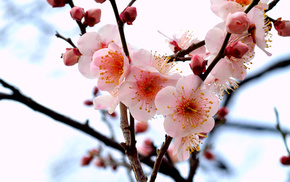 twigs, branch, petals, flowers, tree