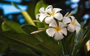white, flowers, tropical