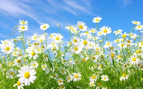 sky, nature, chamomile, flowers