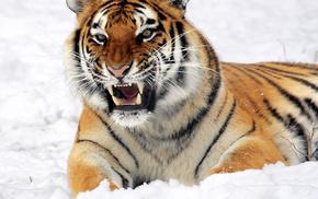 snow, lies, tiger, animals, muzzle