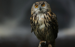 background, bird, eyes, stunner, owl