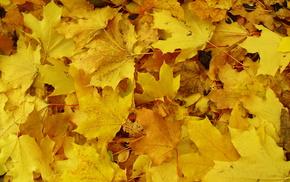 leaves, yellow, macro, autumn, Earth