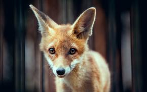 animal, ears, animals