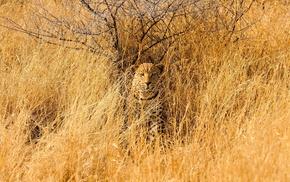 leopard, animals, grass