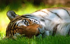 lies, mustache, grass, muzzle, tiger