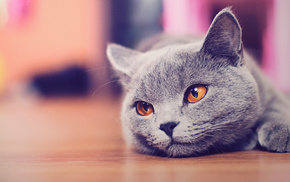 animals, cat, rest, gray
