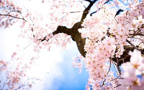 sakura, sky, flowers, spring, twigs