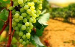 виноград, ветки, вкусно, Гроздь, листья, виноградник