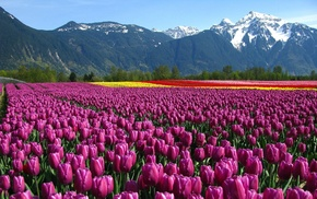 mountain, field, flowers, tulips