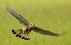 взмах, полет, животные, Пустельга, крылья, птица