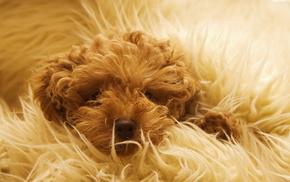 шерсть, одеяло, Собака, животные