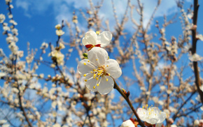 ветка, вишня, цветок, весна, макро