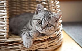 kitten, basket, animals