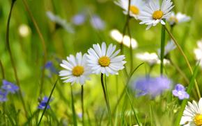 flowers, field, chamomile, grassland, white