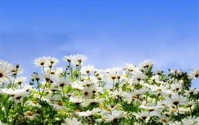 stunner, sky, flowers, chamomile