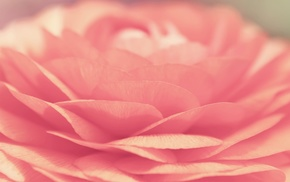 macro, tenderness, flower, pink, petals