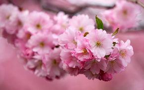 flowers, sakura, cherry, branch