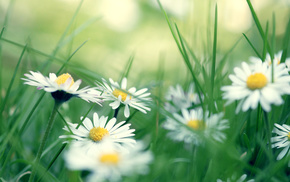 grass, chamomile, flowers