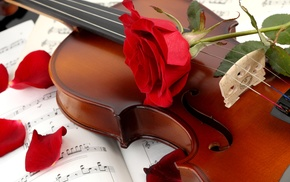 petals, stunner, rose, flower, violin