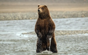animals, bear, water