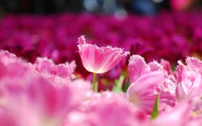 flowers, field, macro, petals, tulips