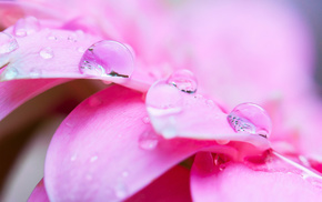 flowers, drops, pink, dew, water