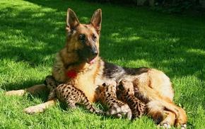 Собака, детёныши пумы, котята, кормление, пума, овчарка