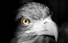 bird, black and white, eagle, animals