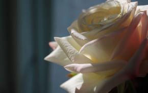 rose, flowers, flower