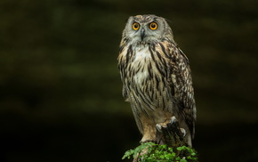 nature, bird, animals, owl