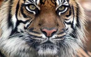 tiger, predator, animals