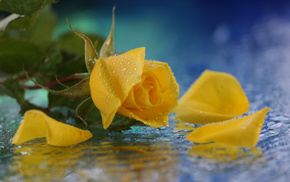drops, water, flower, flowers, rose