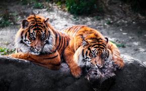 хищники, камень, тигры, дикие кошки, животные