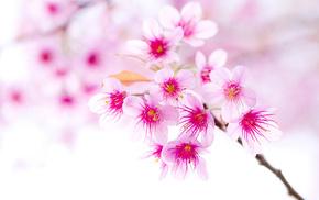 macro, spring, cherry, branch